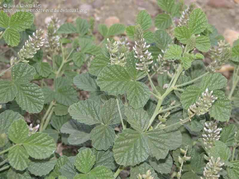 Plantas con efectos hipoglucemiantes. | | Nutricionista